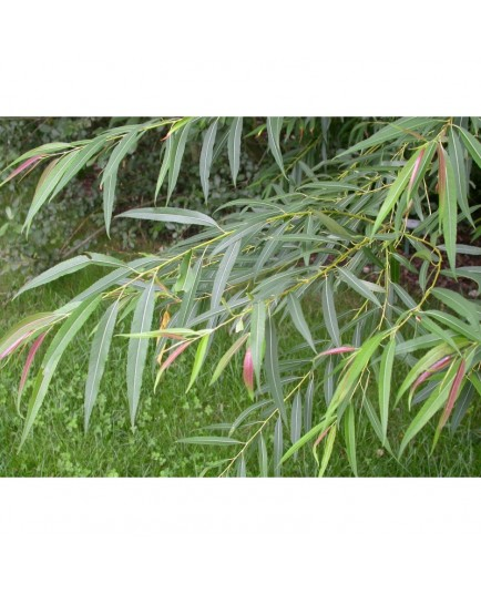 Salix medwedewii - Saule du Caucase