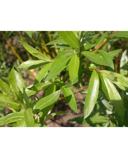 Salix mollissima var. hippophaefolia - Saule à feuille d'argousier