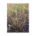 Salix muscina - saule