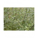 Salix myrsinifolia - Saule noircissant