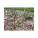 Salix myrsinifolia x waldsteiniana