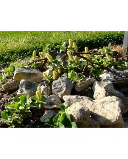 Salix nakamurana 'Yezoalpina' - Saule