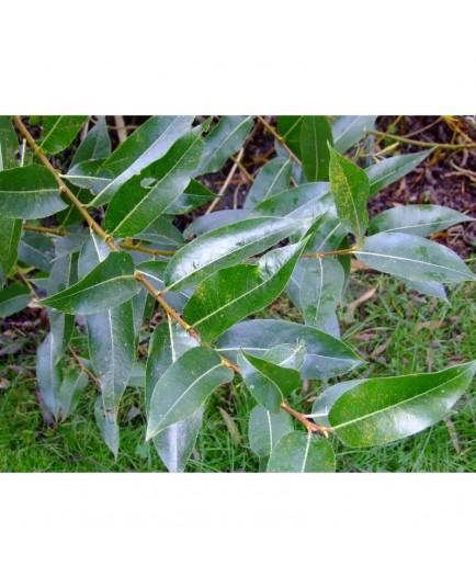 Salix pentandra - Saule à feuille de laurier, saule à cinq étamines