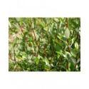 Salix phylicifolia 'à bois rouge' - saule à feuille de thé