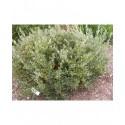 Salix phylicifolia - Saule à feuille de thé