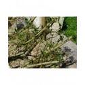 Salix phylicifolia x kitaibeliana 'Pendula'