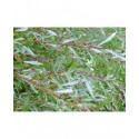 Salix purpurea 'Gracilis' - Saule pourpre nain