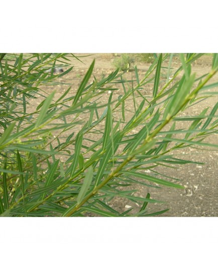 Salix purpurea 'Howki' - Saule pourpre