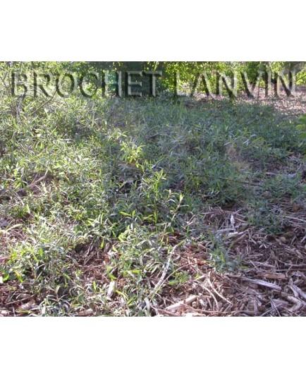 Salix purpurea 'Pendula' -Saule poupre rampant