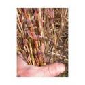Salix purpurea 'Rana' - saule pourpre