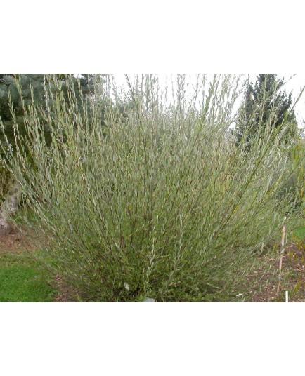 Salix purpurea 'Richartii' - saule pourpre