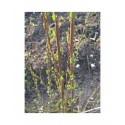 Salix purpurea 'Welleck' - Saule pourpre