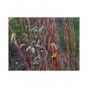 Salix purpurea - Saule pourpre