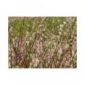 Salix purpurea 'Pendula' x rosmarinifolia