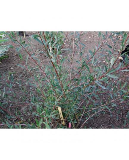 Salix purpurea var helix - saule pourpre