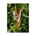 Salix pyrifolia - Saule à feuille de poirier