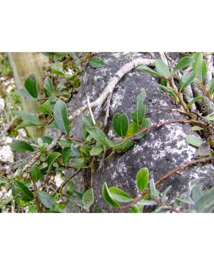 Salix rependiculata x