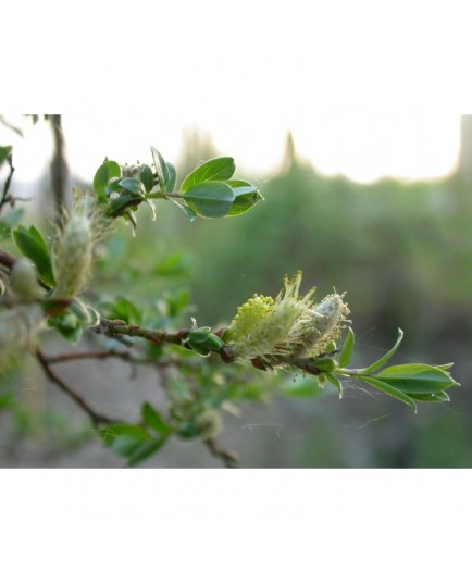 Salix repens 'Boyd's Pendulous' - Saule rampant