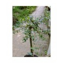 Salix repens 'Iona'