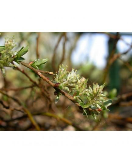 Salix repens 'Voorthuizen' - Saule rampant