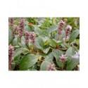 Salix reticulata - Saule reticulé