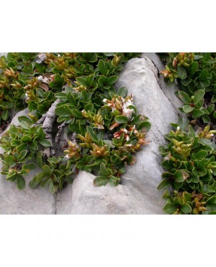 Salix retusa - Saule à feuilles rétuses