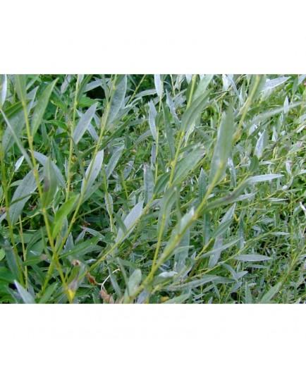Salix rosmarinifolia x lapponum