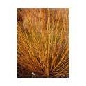 Salix rubens x basfordiana - saule de Basford