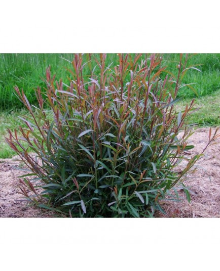 Salix rubra x Eugenii - saule