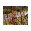Salix schraderiana - Saule à deux couleurs