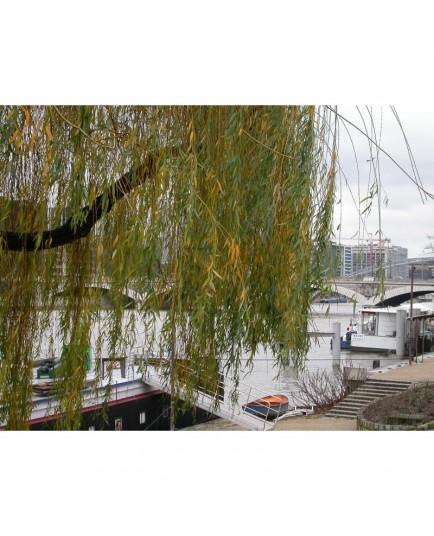 Salix x chrysocoma - saules pleureurs dorés,