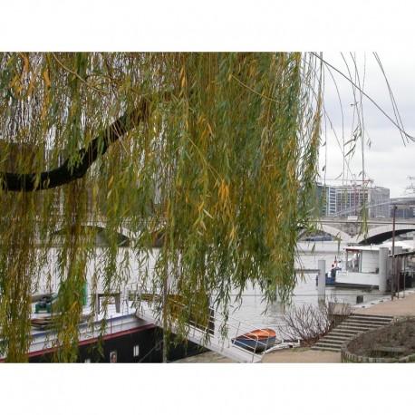 Salix chrysocoma x- saules pleureurs dorés,
