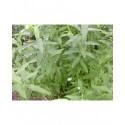 Salix smithiana x - Saule de Smith