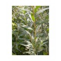 Salix starkeana - Saule blanchissant , saule des paturages
