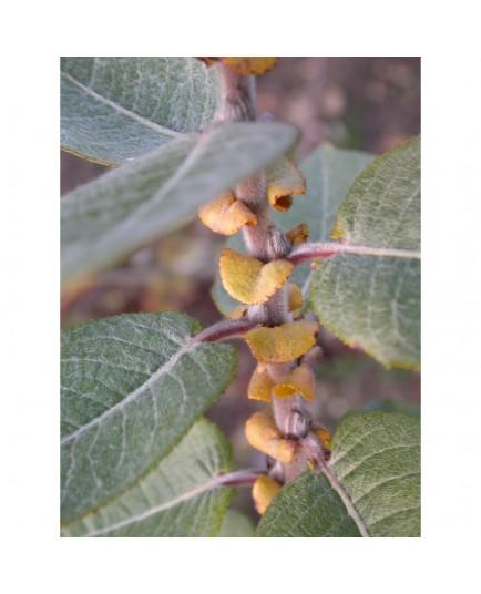 Salix syrticola - Saule des dunes américain
