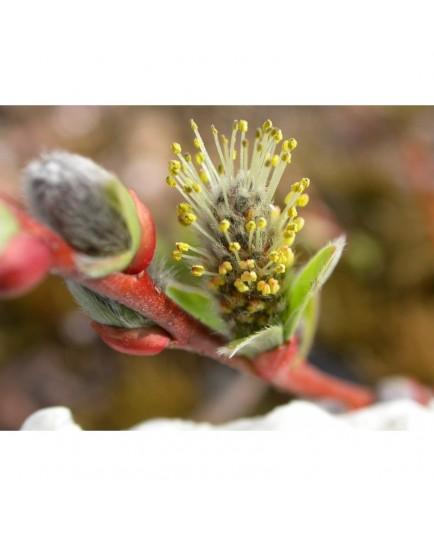Salix tatrae x rosmarinifolia