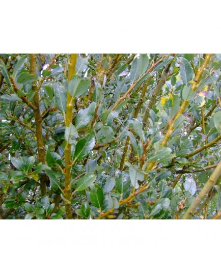 Salix tetrapla x - saule