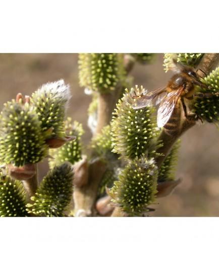 Salix thaumastu x