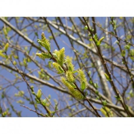 Salix triandra 'Semperflorens' - Saule amandier, saule à trois étamines toujours en fleurs, osier brun