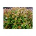 Salix tsugaluensis x 'Ginme' - saule