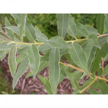 Salix turanica