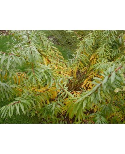 Salix udensis 'Sekka' - Saule Sekka