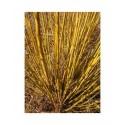 Salix viminalis 'Regalis' - saule des vanniers