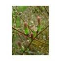 Salix waldsteiniana x purpurea