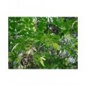Sambucus canadensis 'Aurea' - sureau du Canada