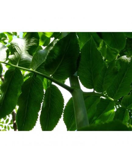 Sambucus glauca - Sureau à fruits bleus