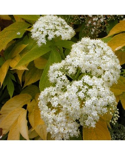 Sambucus nigra 'Aurea' - sureaux noirs , sureau doré