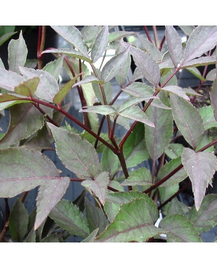 Sambucus nigra 'Black Beauty'® - sureaux noirs, sureau pourpre