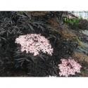 Sambucus nigra 'Black Lace'®' - sureau pourpre lacinié