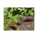 Sambucus nigra 'Franzi' - sureau à fruits